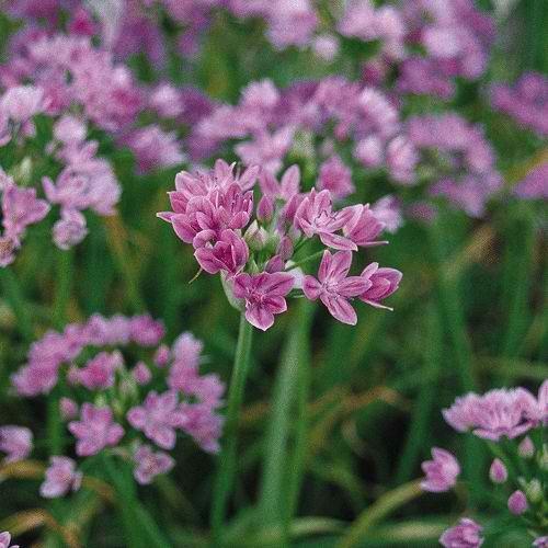 Allium_Roseum