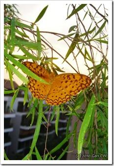 Phalanta phalantha phalantah-20100202_DSC06412-480