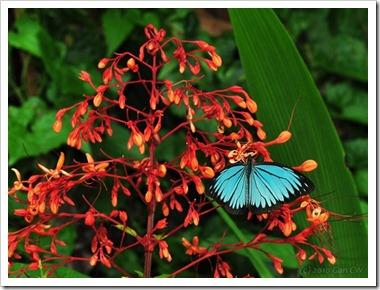 Pareronia valeria lutescens-MYFHRaub_20100416_D6817-640