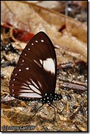 Chilasa paradoxa aenigma m -f aegialus-20090301-MYFH_0185-480