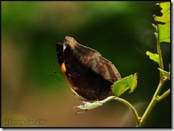 Doleschallia bisaltide continentalis-MYGopeng_20090312_0725-480