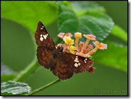 Pseudocoladenia dan dhyana-MYGopeng_20090314_0496-480