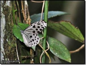 Ideopsis gaura perakana-MYFH_20090330_0288-480