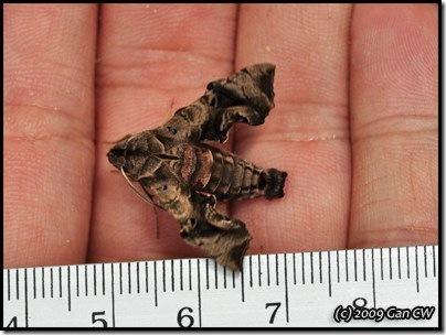Neogurelca hyas-20090502_1313-400