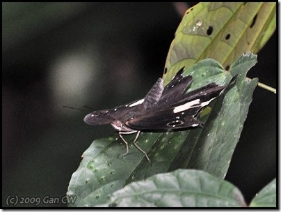 Neorina lowii neophyta-MYFH_20090330_0281-400
