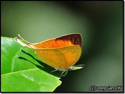 Loxura cassiopeia cassiopeia-MYFHRaub_20090423_1081-400