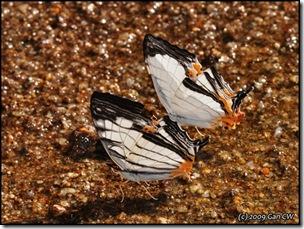 Cyrestis maenalis and nivea-MYFHNewRoad_20090424_0958-640