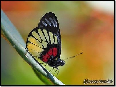 Delias ninus ninus-MYFH_20090424_0886-400