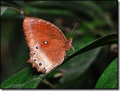 Elymnias hypermnestra agina-20090531 11-10-52 - 0099
