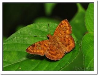 Pseudocoladenia dan dhyana-MYGopeng_20090627_3510-480