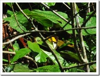 Ixias pyrene alticola-MYFH_20090701_3089-480