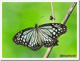 Parantica aglea melanoides (m)-Th_Soppong_20090902_5495-480