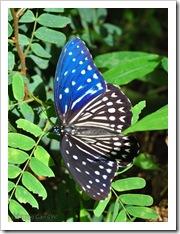 Penthema darlisa melema (m)-Th_ThamLotCave_20090901_5677-480