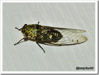 Cicada-Th_SoppongRiverInn_20090903_5191-640