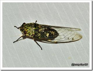 Cicada-Th_SoppongRiverInn_20090903_5191-640