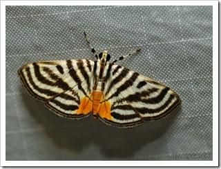 Crambidae-Pycnarmon sp-Th_CaveLodge_20090904_4939-640