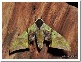 Callambulyx rubricosa (m)-Th_CaveLodge_20090904_4948-640