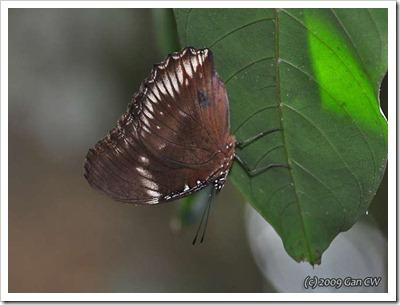 Hypolimnas bolina jacintha-ChestnutDr_20090531_0088-640