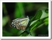 Pareronia valeria lutescens (f)-MYFHRub_20091126_D3401-480