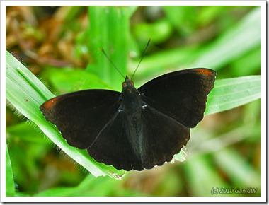 Rohana parisatis siamensis-MYGuaTempurong_20100629_D8440