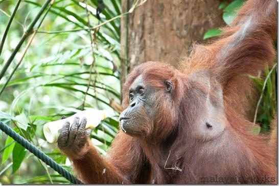 Semengoh Orangutan Rehabilitation Center 42