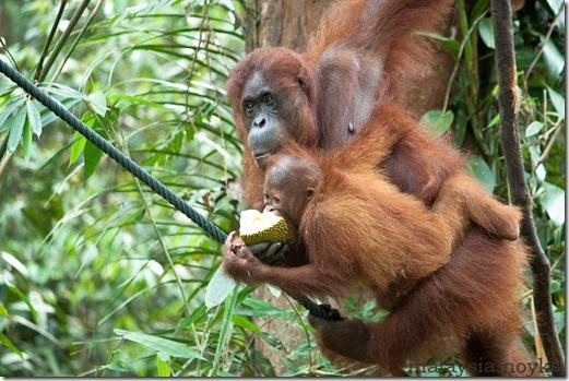 Semengoh Orangutan Rehabilitation Center 36