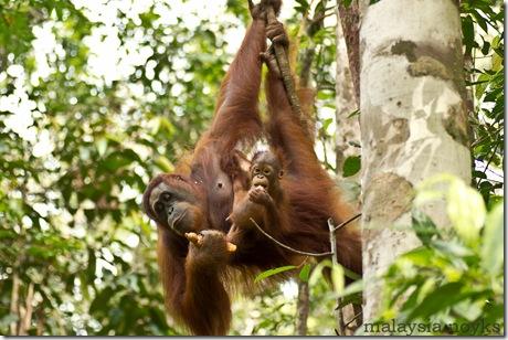 Semengoh Orangutan Rehabilitation Center 6
