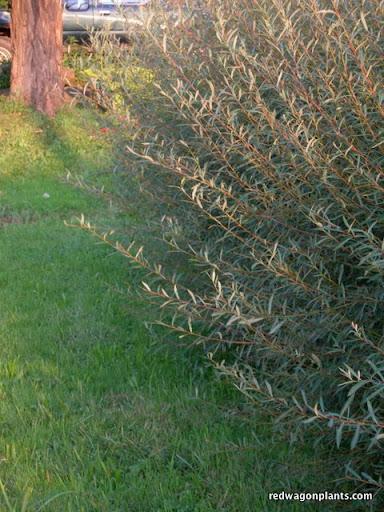 Salix nana or Arctic Blue Willow