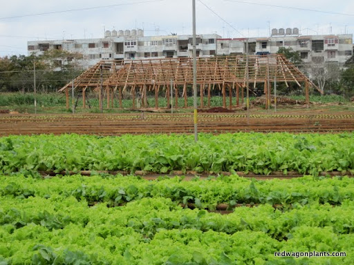 Lettuce, herbs, a pole barn under construction, and housing complex