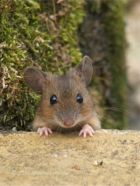 Wood mouse andrew