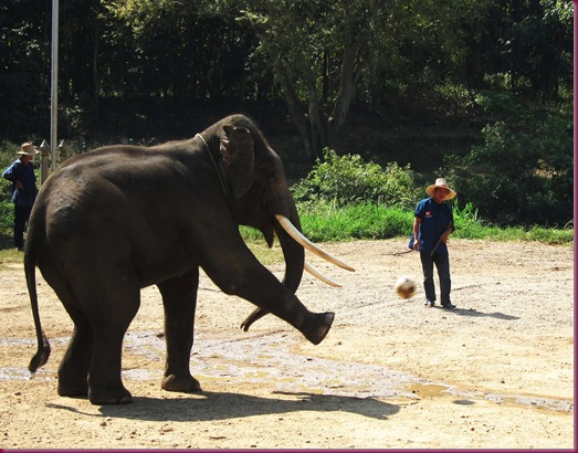 elephant playing soccer at mae taeng elephant park