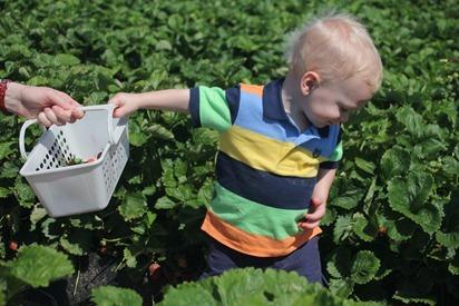 Strawberry Picking 16