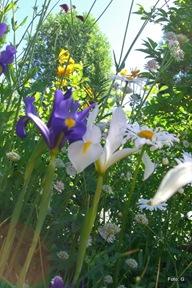 Iris med Astrantia major og Trollius chinensis (gul) i bakgrunnen.