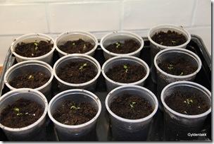 Ferdige potter med jordbærplanter