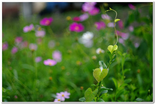 CZJ pancloar 50/1.8 in 波斯菊