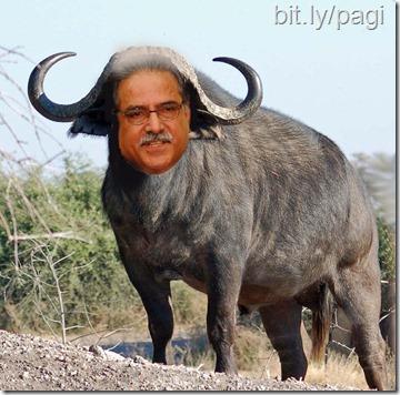 buffalo -Paranjaya Prachanda