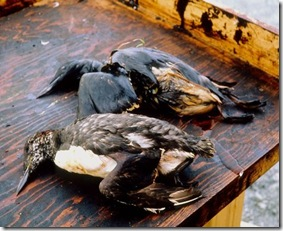 BP Oil Spill - Birds died as they were entrapped within the oil slick
