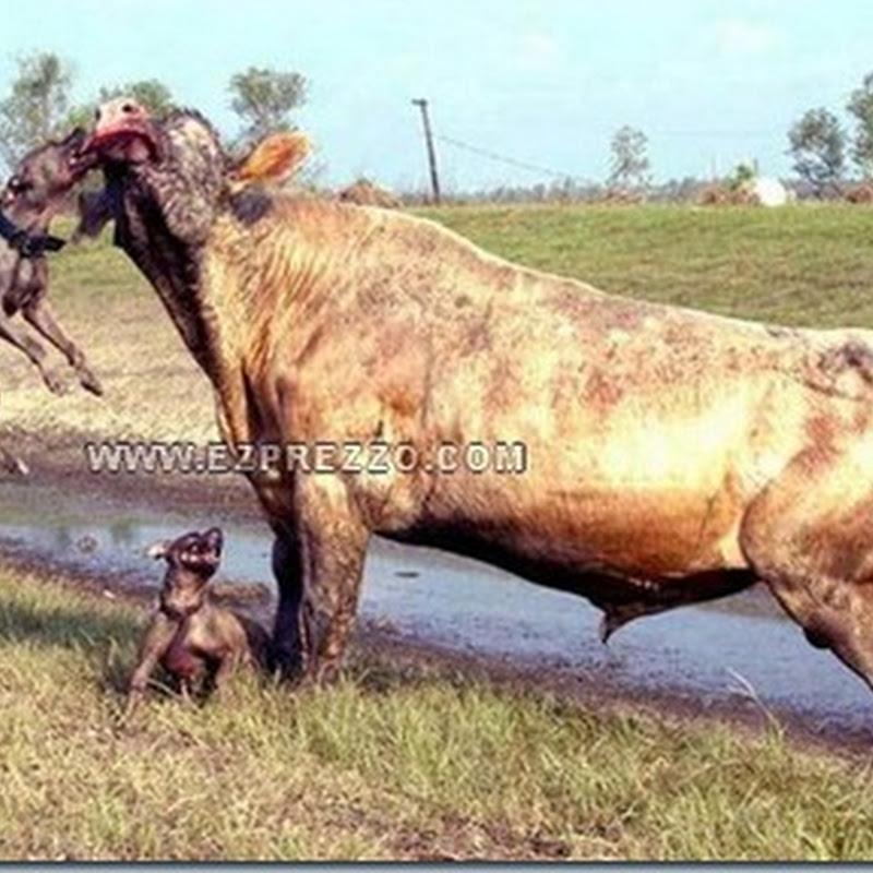 2 anjing ini berusaha memperkosa sapi !!