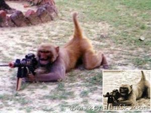Monyet Dilatih Jadi Anggota Militer 2