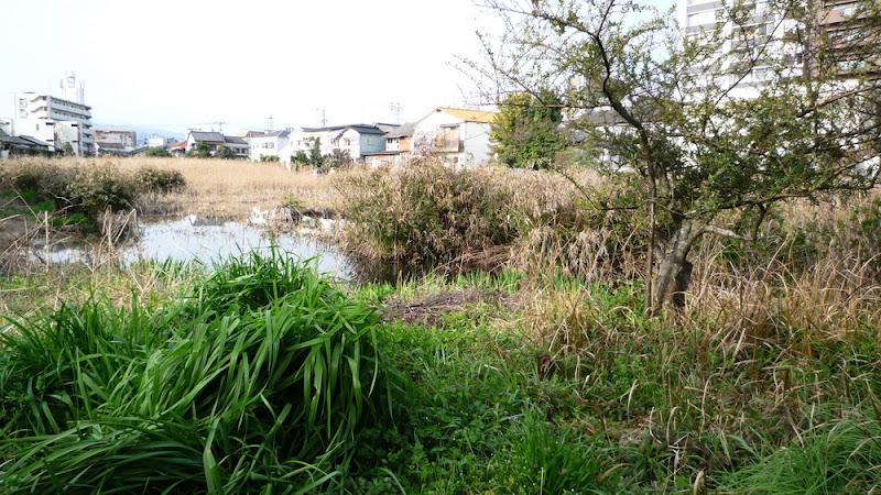 ciénaga, 福岡, estanque, fukuoka, japón/日本/japan, pond, swamp, vida/生活/lifestyle, 池, 沼