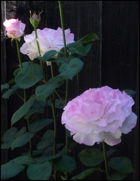 ROSES may 2011 005