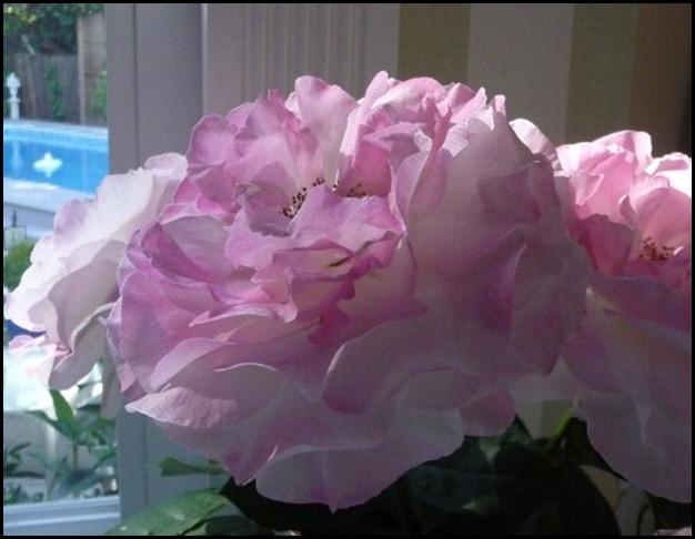 ROSES may 2011 021 (800x600)