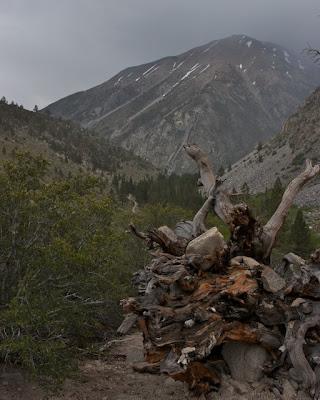 fallen foxtail pine