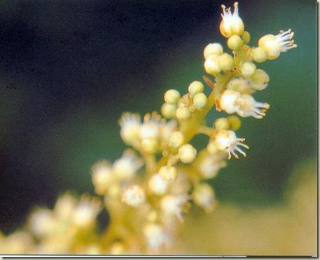 FSG Coronarium