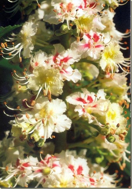 Florais de Bach White Chestnut
