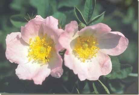Florais de Bach Wild Rose