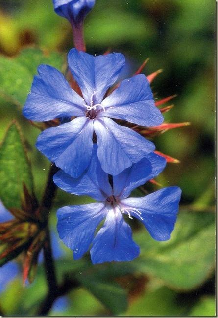 Florais de Bach Cerato