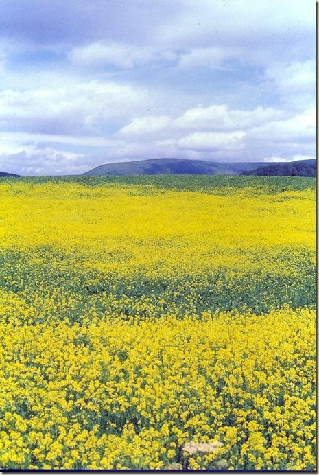 Florais de Bach Mustard