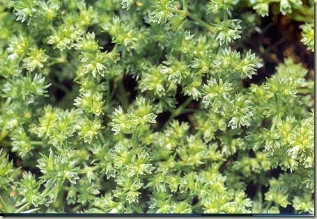 Florais de Bach Schlerantus