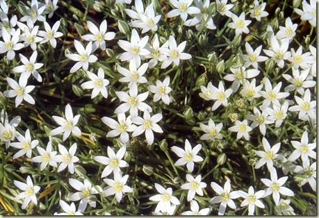 Florais de Bach Star of Betlehem